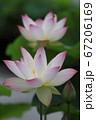 白い花の先がピンクのハスの花 67206169