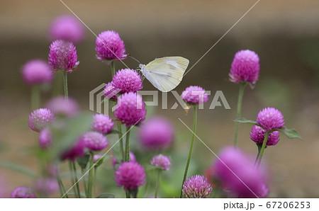 ピンクのセンニチコウの花に止まるモンシロチョウ 67206253