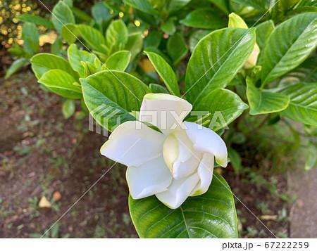 クチナシの花(開花と蕾)/The gardenia 67222259