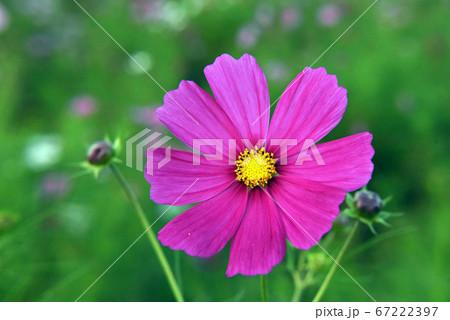 コスモス(正面濃いピンクアップと蕾) 67222397