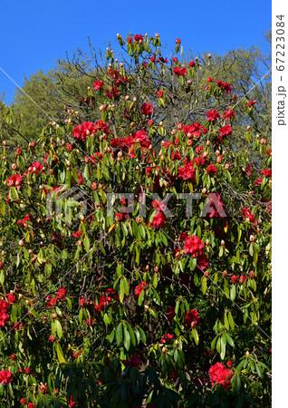 赤い花を付けた春の西洋シャクナゲと推定される樹木を撮影した写真 67223084