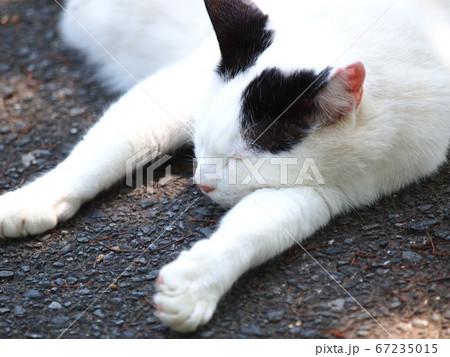 昼寝中のぐだーとした幸せそうな猫 67235015