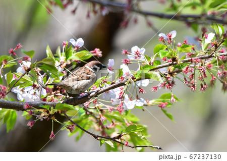公園の桜の枝で餌を探す小鳥(スズメ) 67237130