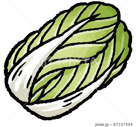 白菜の手描きベクターイラスト 67237304