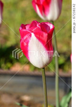 ジュディスレイスターと推定されるチューリップの濃いピンクと白の2色の花をアップで撮影した写真 67238142