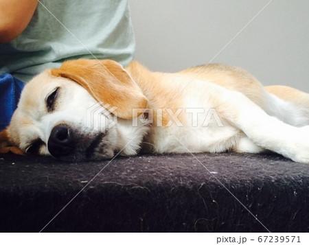 人に背中をくっつけて眠るビーグル 67239571