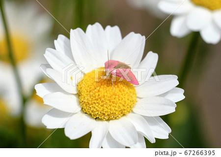 小さなピンクの蛾 羽化したばかりのマエベニノメイガ 67266395