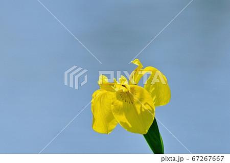 水面をバックに咲く満開の黄色いカキツバタ 67267667