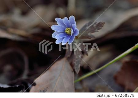 福智山ろく花公園のユキワリイチゲ 67268579