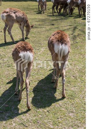 芝の新芽を食む鹿たち(冬毛・後ろ姿)(奈良公園・春) 67270150