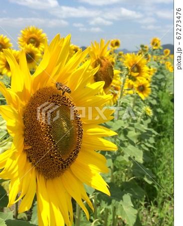 ミツバチと向日葵のコラボレーション 67273476