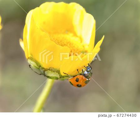 黄色い花に赤が映えるナナホシテントウムシ 67274430