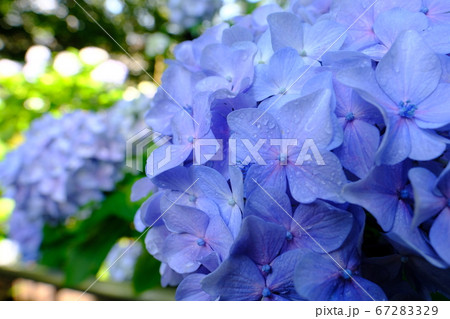 朝の散歩中に咲いていた蒼い紫陽花 67283329