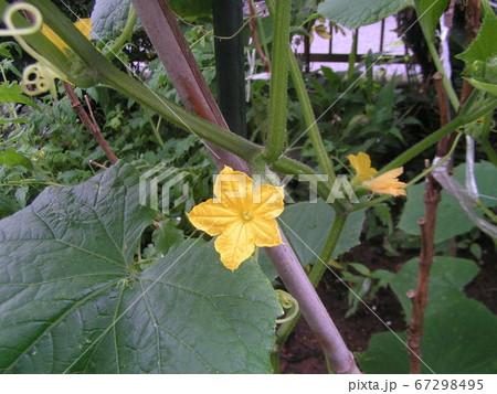 四月に種を撒いたキュウリ花を咲かせました 67298495