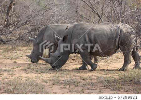 2匹のサイ(南アフリカ,クルーガー国立公園) 67299821