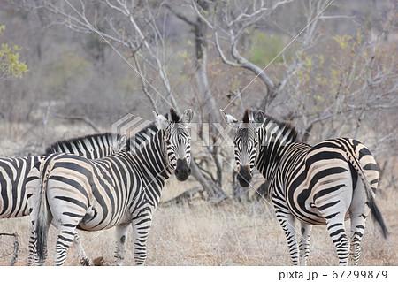 2頭のシマウマがこちらを見ている様子(クルーガー国立公園,南アフリカ) 67299879