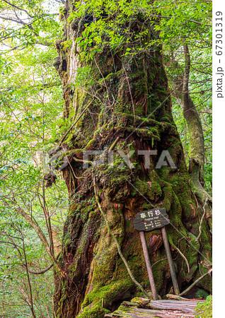 屋久杉奉行杉(12月)国立公園屋久島白谷雲水峡の森 67301319
