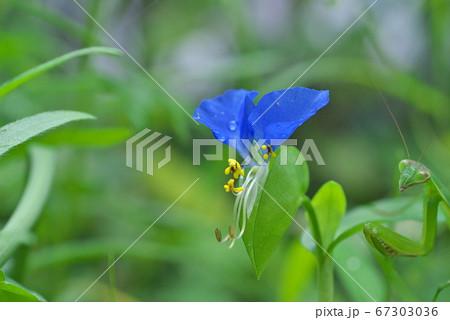 ツユクサの花(ちょっとカマキリ) 67303036