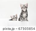 鉢に入ったアメリカンショートヘアーの子猫 67303854