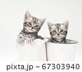 鉢に入ったアメリカンショートヘアーの子猫 67303940