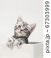 鉢カバーに入ったアメリカンショートヘアーの子猫 67303999