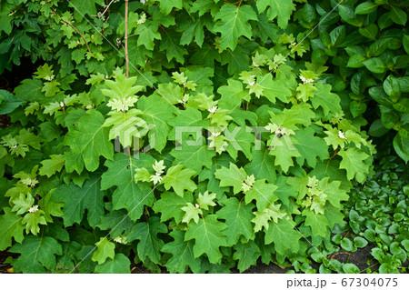 ガーデンのカシワバアジサイの若葉 67304075