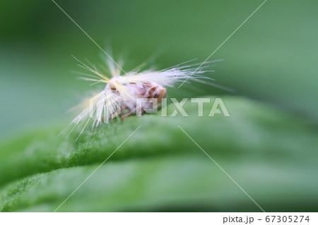 雑草の葉にとまるベッコウハゴロモの幼虫 67305274
