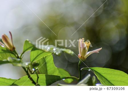 レモンの花と朝露がきらきら光る葉っぱ 67309106