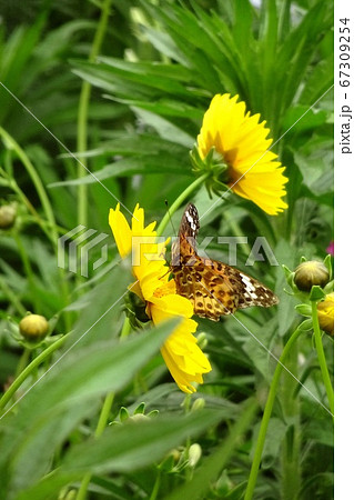 黄色い花の上で羽を広げた蝶々/ツマグロヒョウモンの雄 67309254