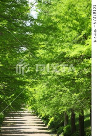 播磨中央公園 メタセコイアの新緑 67329101