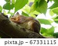 木に登るリス 67331115
