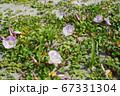 日本の砂浜で咲くハマヒルガオ(浜昼顔)01 67331304
