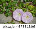日本の砂浜で咲くハマヒルガオ(浜昼顔)02 67331306