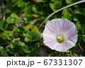 日本の砂浜で咲くハマヒルガオ(浜昼顔)03 67331307