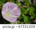 日本の砂浜で咲くハマヒルガオ(浜昼顔)04 67331308