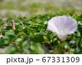 日本の砂浜で咲くハマヒルガオ(浜昼顔)05 67331309