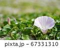 日本の砂浜で咲くハマヒルガオ(浜昼顔)06 67331310
