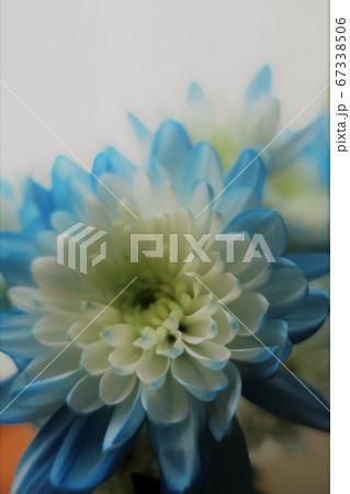 染めグラーデション菊・ブルーのアップ 67338506