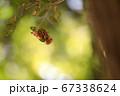 夏の葉にぶら下がり集まって脱皮したセミの抜け殻 67338624