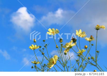 青空と雲を背景に揺れる黄色コスモス 67341165