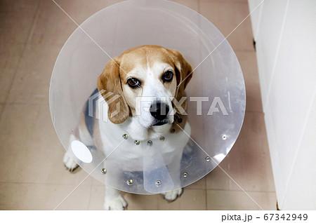 エリザベスカラーをつけたビーグル犬 67342949