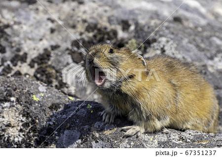 岩の上で鳴くナキウサギ 67351237