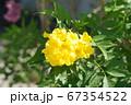 タイ王国で咲いていた黄花(Pretty Yellow Flower in Thailand) 67354522