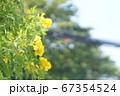 タイにおける黄色のお花畑、花壇(Pretty Yellow flower in Thailand) 67354524