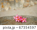 Pink flower on the beach in Hua Hin, Thailand 67354597
