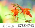 夏に咲くオレンジ色の花 67354743