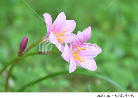 淡いピンクの花 67354746