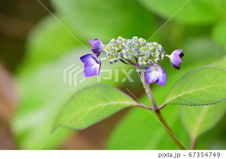 紫の花びらが印象的な小さなあじさい 67354749