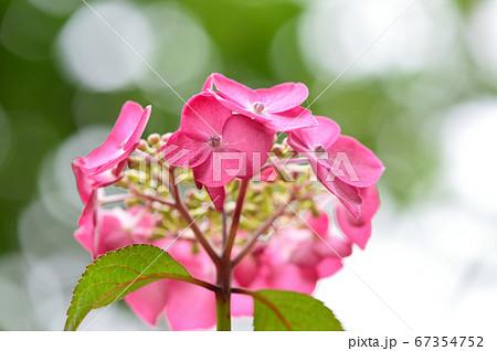 梅雨、鮮やかに咲くピンク色のあじさい 67354752