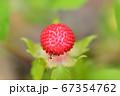 野イチゴを食べるアリ 67354762